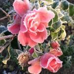 Rose - Lebenschancen nach Lebenskrisen